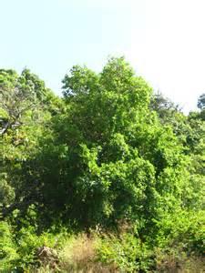 Gular Tree Photo Images