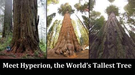 tallest tree in the world everything about the world s tallest tree you wanted to