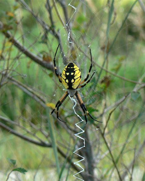 Garden Spider Photos File Argiope Aurantia Yellow Garden Spider Jpg Wikimedia