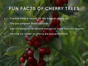 cherries by seet
