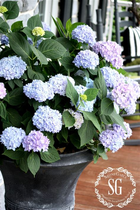 planting hydrangeas in pots and urns stonegable
