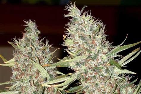 kali mist x burmese cherry bomb f2 by swami organic seed seedfinder strain info
