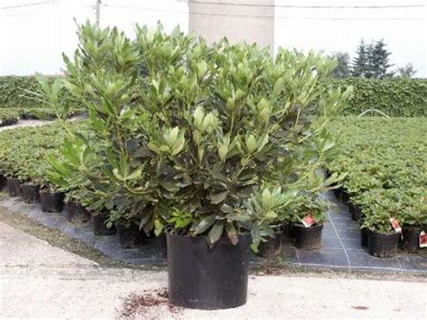 assortment rhododendron wuloplant large varieties rhododendron ponticum pot
