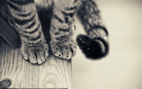 monochrome animals cat animals monochrome paws wooden surface wallpapers