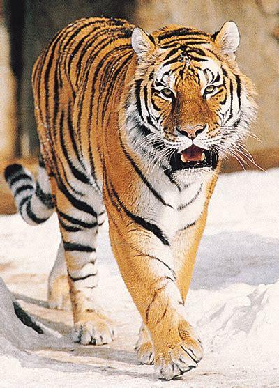 a tiger tiger howstuffworks