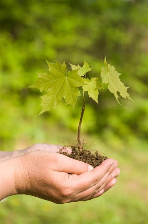maple tree when to plant planting maple trees blain s farm fleet