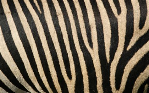 zebra stripes zebra backgrounds wallpaper 160634