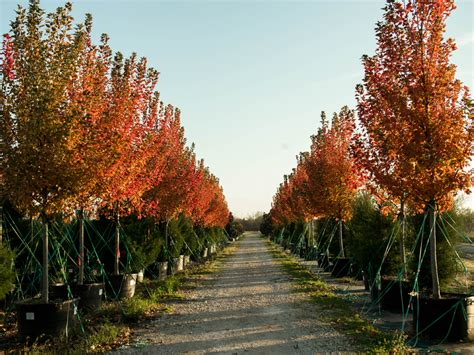 maple tree all year october maple tree dallas treeland nursery