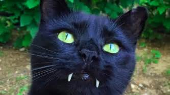 cat pictures this cat s dracula fangs helped to find him a home