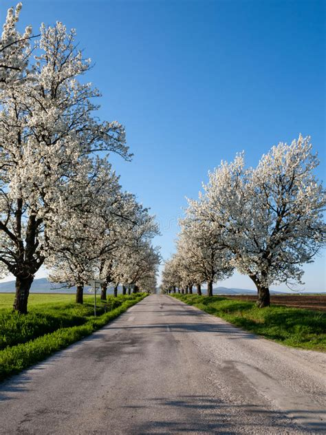 6 cherry tree road flowering trees stock photo image of distance cherry 31272468