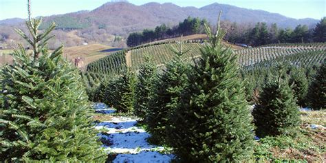 tree farm asheville nc tree farms asheville nc mountains