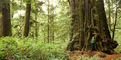 tree c b c s big trees are now tracked in ubc s database