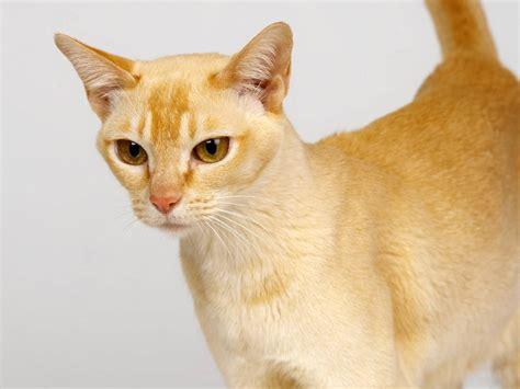 for cat singapura cats wallpaper