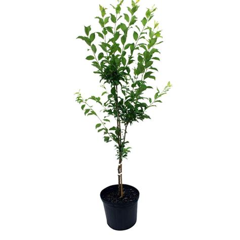 4 in 1 cherry tree home depot 3 gal becky blueberry shrub 56453fl the home depot