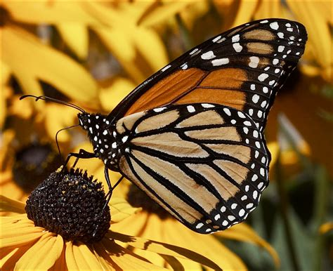 a butterfly butterfly animal wildlife