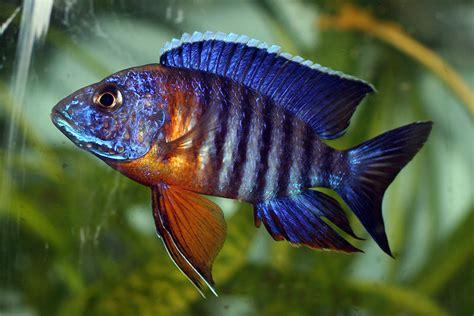 la photo de poisson en aquarium divers aquarium webzine l aquariophilie d eau douce et d