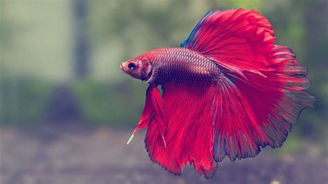 Home Design 3d Wiki betta fish wallpapers hd page 3 of 3 wallpaper wiki