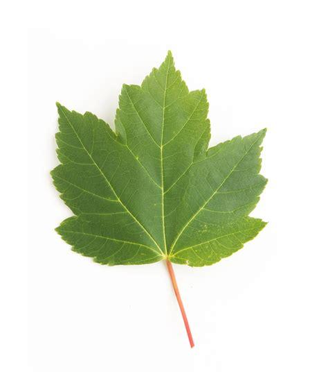 maple tree leaves october maple