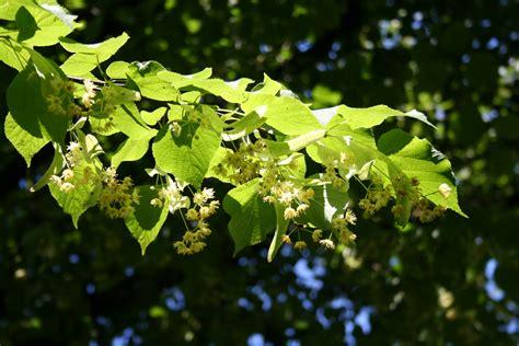 lime tree file lime tree jpg