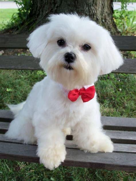 boy maltese haircuts 25 best ideas about maltese haircut on pinterest