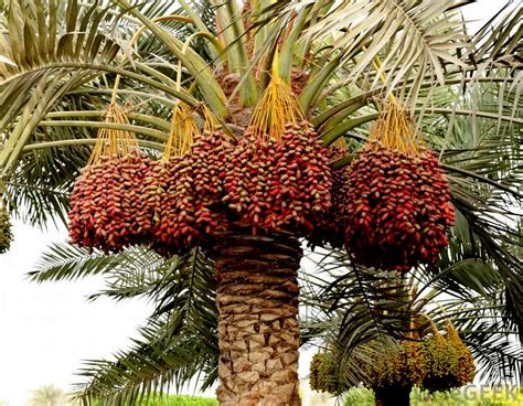 national tree dates health benefits of dates
