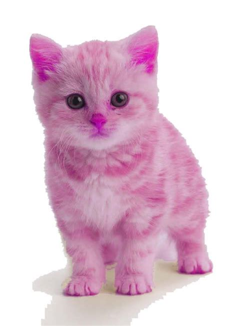 pink cat a pink kitten oh my goodness so cats