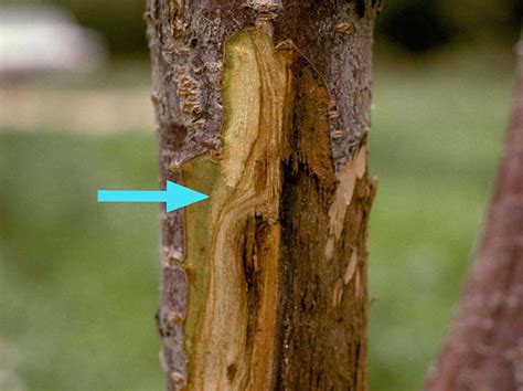 cytospora canker intermountain fruit usu
