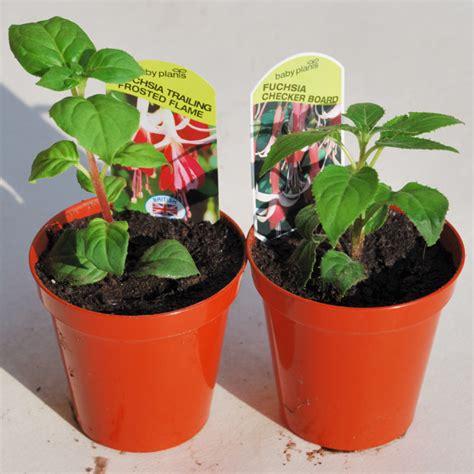 how to grow a fuchsia standard