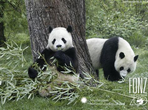 panda china yayasan sanctuary panda quot the animal