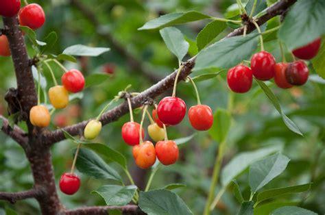 cherry trees how to grow cherry trees