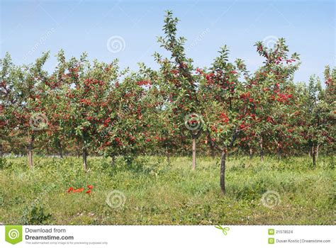 cherry tree orchard cherry orchard stock photo image of berry agriculture 21578524