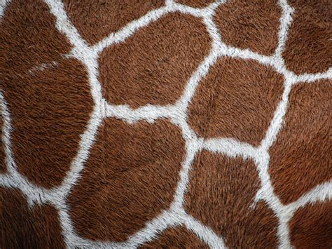 Home Design Cheats wallpaper giraffe hintergrundbilder f 252 r den desktop