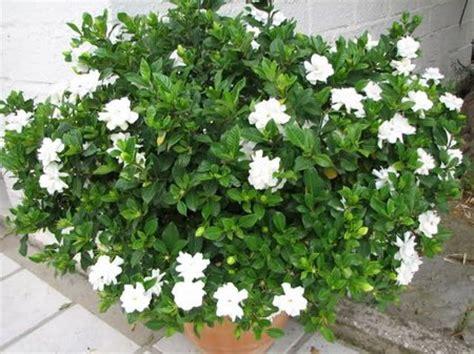 Gardenia Bush Gardenia Www Coolgarden Me