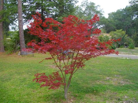 maple tree all year pruning japanese maples when and how to prune a japanese maple