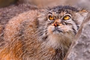 how to do a cat why is the of the pallas cat so expressive mnn