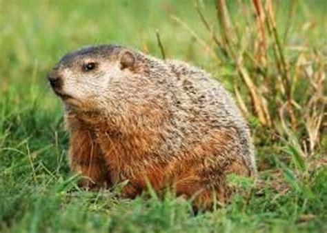 groundhog day information 10 interesting groundhog facts my interesting facts
