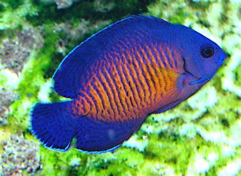 centropyge bispinosa un ange facile aquarium r 233 cifal aquarium marin aquarium eau de mer