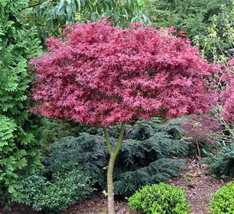 maple tree zone 10 small trees for landscaping in zone 3 landscaping deer