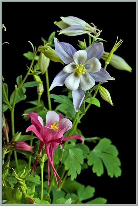 aquilegia origami and white columbine origami 171 embroidery origami