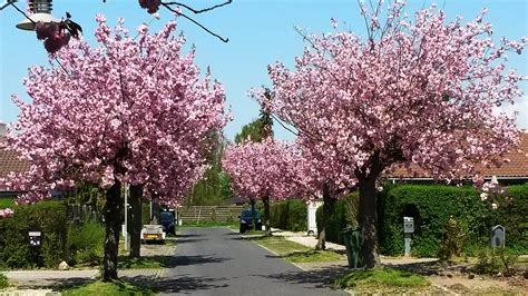 cherry tree vs cherry blossom tree japanese cherry blossom trees prunus serrulata cultivar kanzan japansk kirseb 230 rtr 230 blomstrende