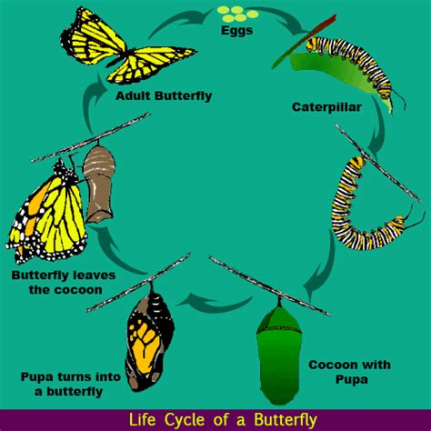 Cycle Of A Butterfly Science Lessons For The