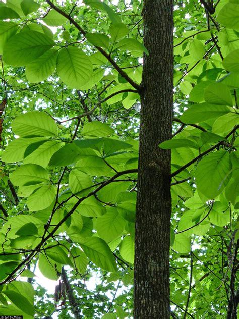 cucumber tree large image for magnolia acuminata cucumber tree usda