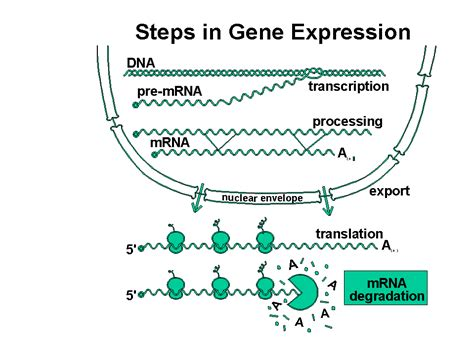 steps in genetic engineering and the regulation of gene expression