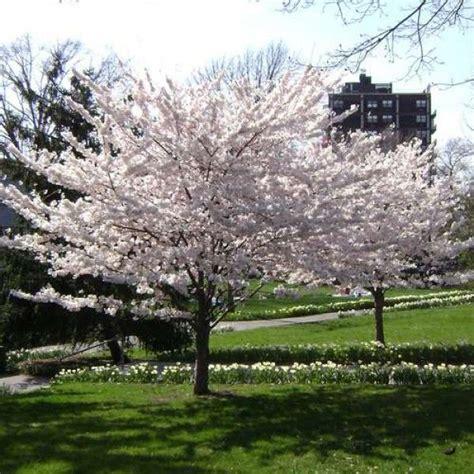 cherry tree yoshino 25 best ideas about yoshino cherry tree on flowering cherry tree adam bloom and