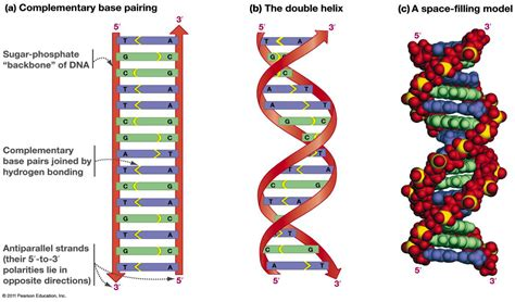 strands of chapter 14 dna replication at olaf college studyblue