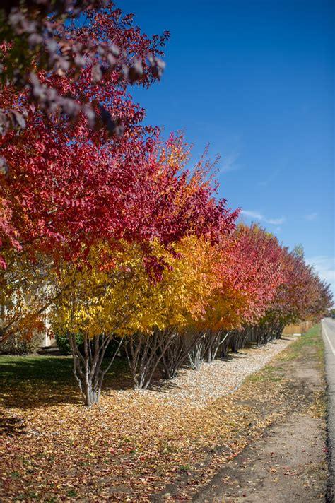 maple tree colorado maple amur for sale in boulder colorado
