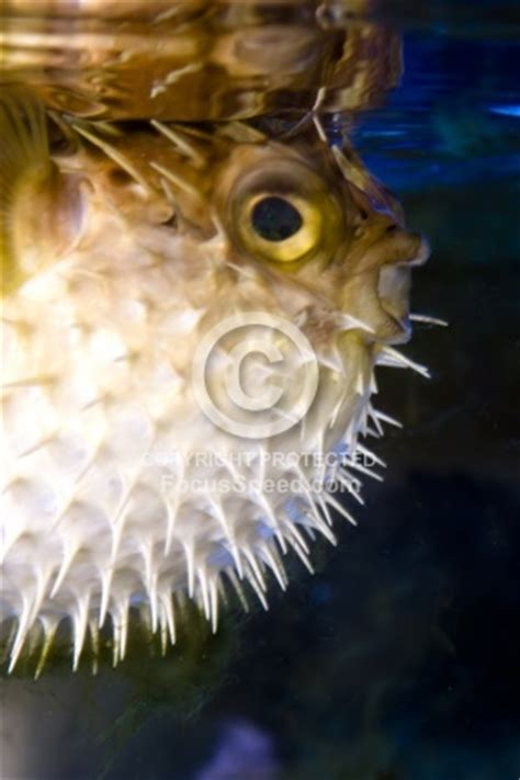 origami puffer fish 78 best images about puffer fish on zoos