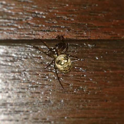 Garden Spider False Widow House Spider Garden Spider Or False Widow Or If You