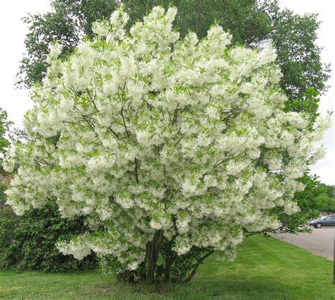 flowering trees for small gardens fafardsmall trees fit for yard garden fafard