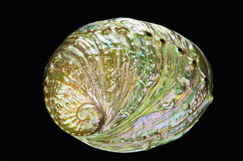 abalone shell colorful abalone shell by bill brennan printscapes